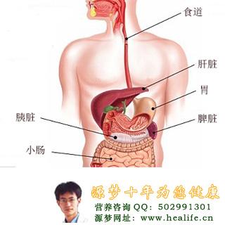 肝脏在人体的什么位置图片