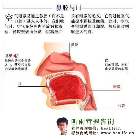 鼻腔(nasal cavity),其实就是鼻子,是气体进入呼吸系统的入口,它是一个顶窄底宽的狭长腔隙,前起前鼻孔,后止于后鼻孔,与鼻咽部相通,整个鼻子呈现一个比较完美的流线型,人类的鼻子有鼻梁和鼻翼,突出于脸的前端,所以人类的鼻子很好看,因为好看,所以很多惩罚人的方式就喜欢往人类的鼻子上招呼,例如古代就有专门割鼻子的刑罚,叫做劓刑(yi ying),四声,受过刑的人基本上脸就像蝙蝠一样退化,仿佛整个人脸被切掉了一样,成为了平面。  人的鼻子除了美观,最重要的功能还是连接呼吸气体的入口以及嗅觉的作用,相对比