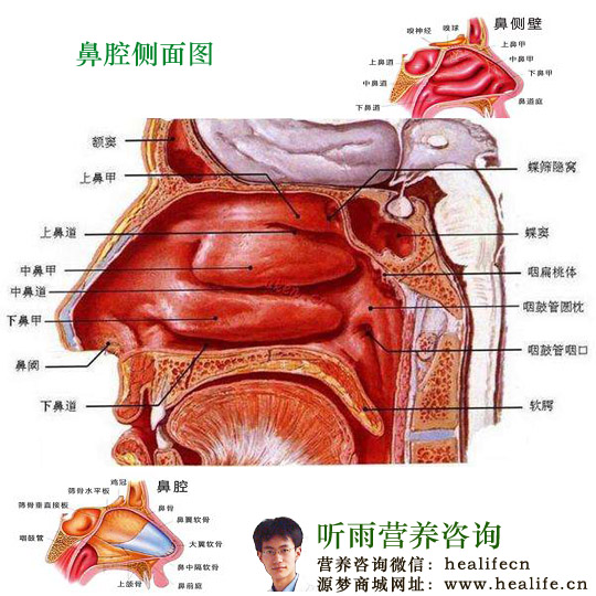 右鼻腔的大小和形态其实是不对称的,鼻腔中有鼻毛,它的生理结构非常的